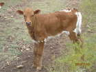 DONNIE'S BULL CALF